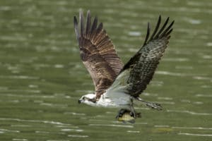 A beautiful osprey flies off after catching a fish at lake